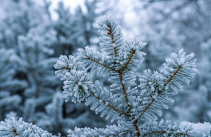 frozen-fir-branches-1436071-m