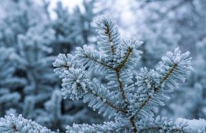 frozen-fir-branches-1436071-m
