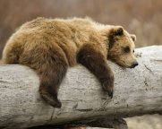 bear-on-a-log