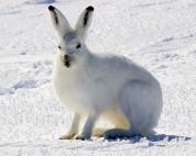 Arctic-Hare